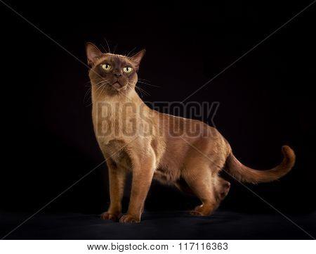 Purebred Burmese Cat Isolated On Black Background