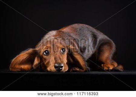 Shorthaired Dachshund Puppy