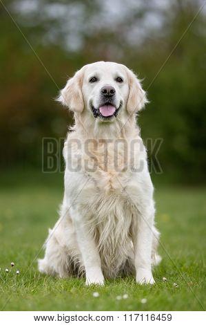 Golden Retriever Dog Outdoors In Nature