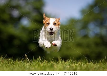 Happy And Smiling Jack Russell Terrier Dog Running