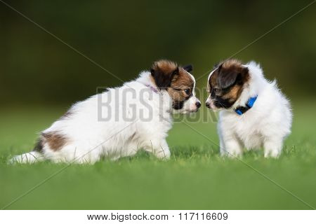 Two Papillon Dog Puppies Playing In The Garden