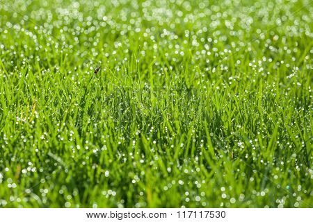 Green Grass With Dew Drops On Blades.