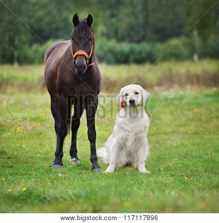 golden retriever dog with a horse
