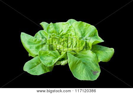 Green Organic Lettuce Plant