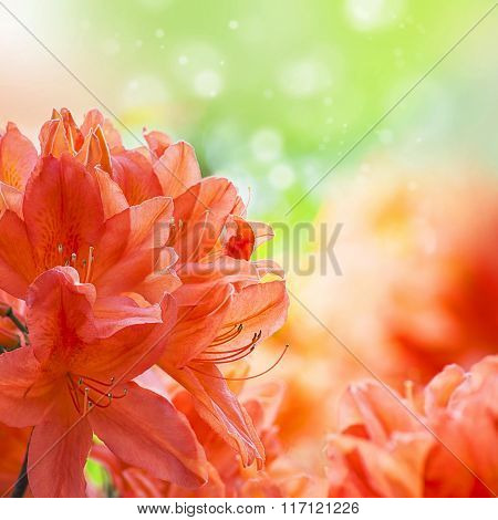 Orange amaryllys flowers background with place for text