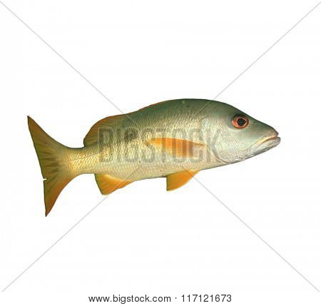 Snapper fish isolated on white background