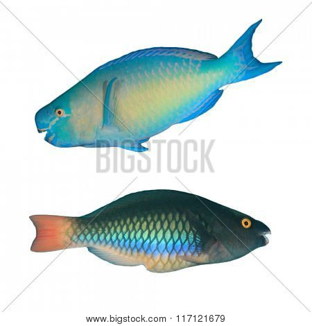 Parrotfish: Tropical fish isolated on white background