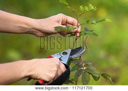 Hands Pruning Garden Rose Branch With Secateurs
