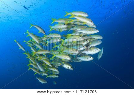 School of yellow fish: Yellowfin Goatfish