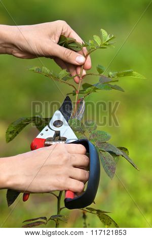Pruning Rose By Pruning Shears
