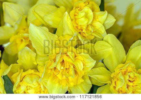 Yellow Narcissus Closeup