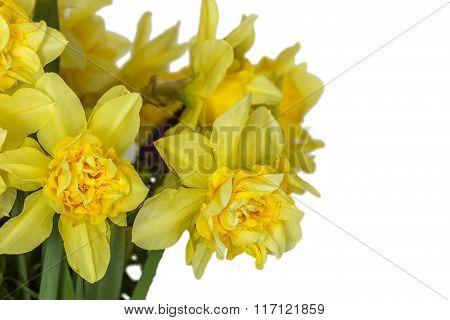 Daffodils Macro In White