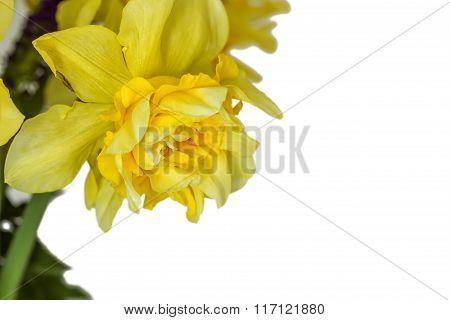 One Daffodils Macro