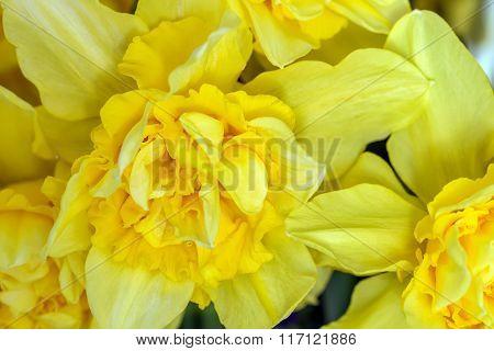 Yellow Daffodils Macro