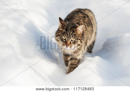 Brown Cat Walking In The Snow