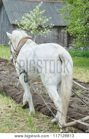 Back side view of white draft horse ploughing soil in spring farmland