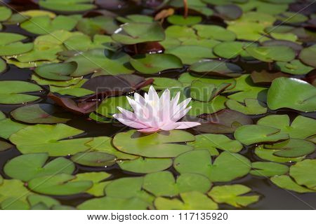 Water Lily In The Middle Of The Green Leaves