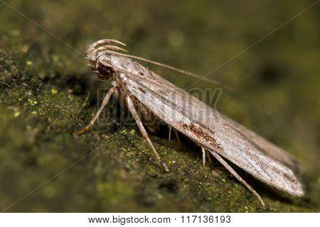 Hypatima rhomboidella micro moth