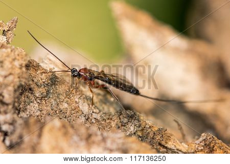 Perithous Ichneumon wasp with long ovipositor