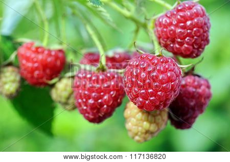 Close-up Of Ripening  Raspberry