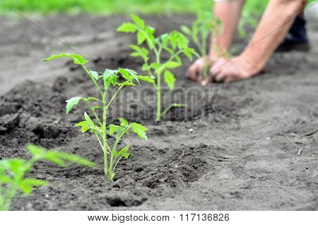 Freshly Planted Tomato Seedlings In The Vegetable Garden