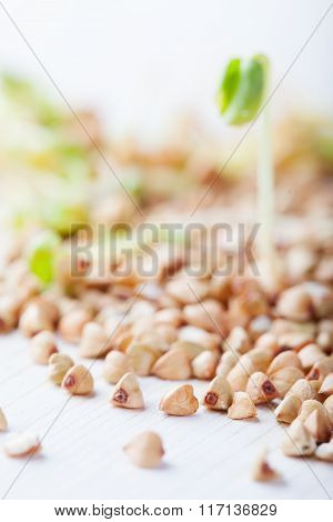 Raw green buckwheat groats and young sprouts on white background