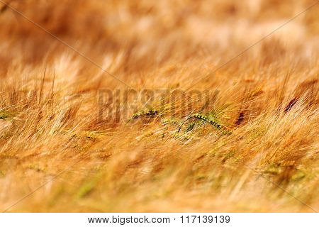 Grain Field With Barley Close Up In Saxon Switzerland