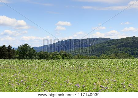Group Of Rocks Affensteine With Thistle Field And Blue Sky In Saxon Switzerland