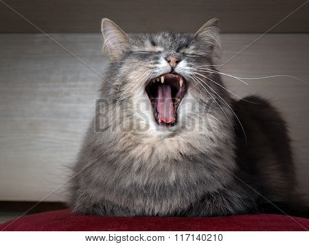 The cat yawns widely.