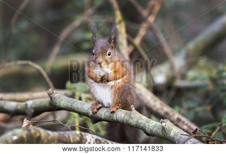 Red Squirrel, Sciurus Vulgaris, On The Branch Of A Tree
