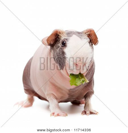Curious Bald Guinea Pig Eating Grass