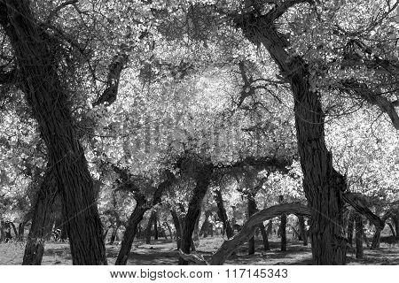 Black And White Poplar Trees  In Autumn Season