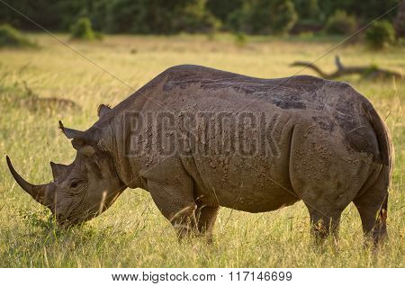 Black Rhinoceros in Masai Mara, Kenya