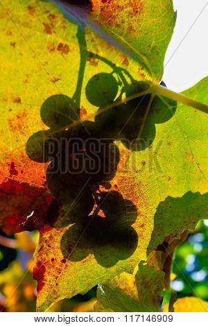 Grape Shadow On Leaves
