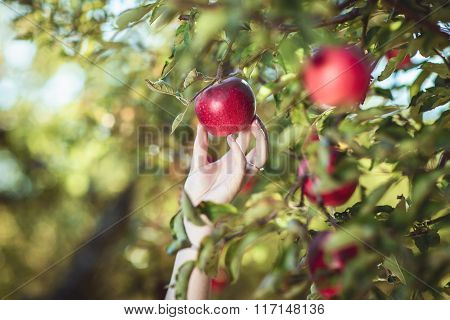 A Female Hand Picks Beautiful Ripe Red Apples On The Tree