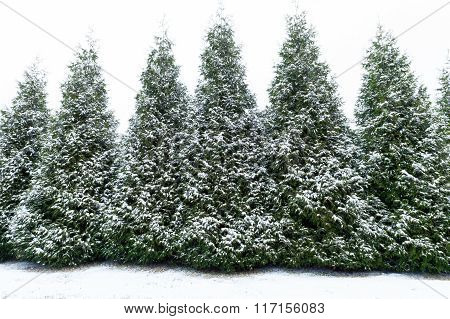 Beautiful Snow Covered Trees Background
