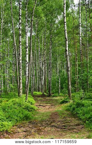 Birch Trees In Forest