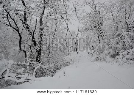Wintry landscape - Trees in the woods covered with fresh snow in foggy. Heavy snowfall, extremely lo