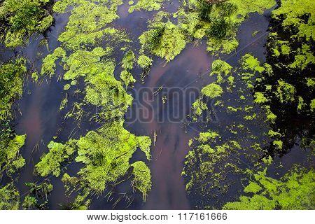 Alga In Water