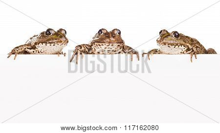 Three Frogs With Panel For Text