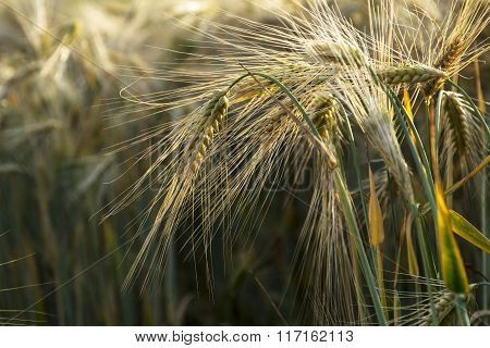 Ears Of Barley With Backlit In A Sunny Field