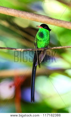 Male Hummingbird Perching On A Branch With Bright Green Chest Feathers.