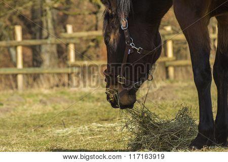 Horse grazing on