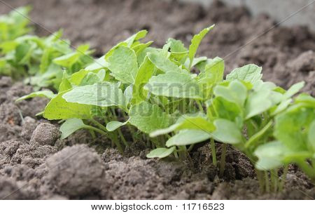 Young turnip plants