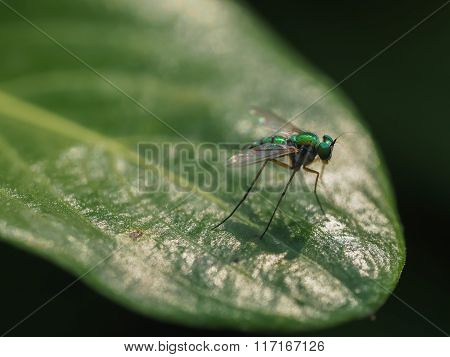 Longlegged Fly On Green Leaf