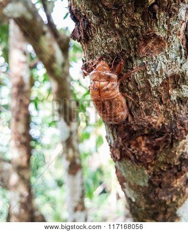 Large Cicada Shell