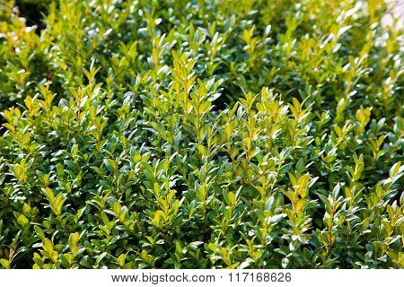 Boxwood Plant In Spring In A Park