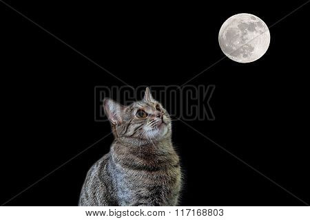Cat Looking To The Moon