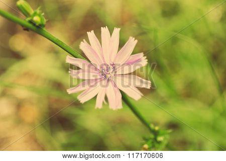 Flowering chicory (Cichorium intybus), on green nature background