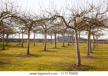 Apple Trees In Spring Without Leaves.